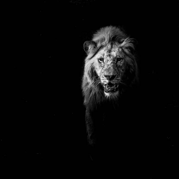 Lion in Darkness