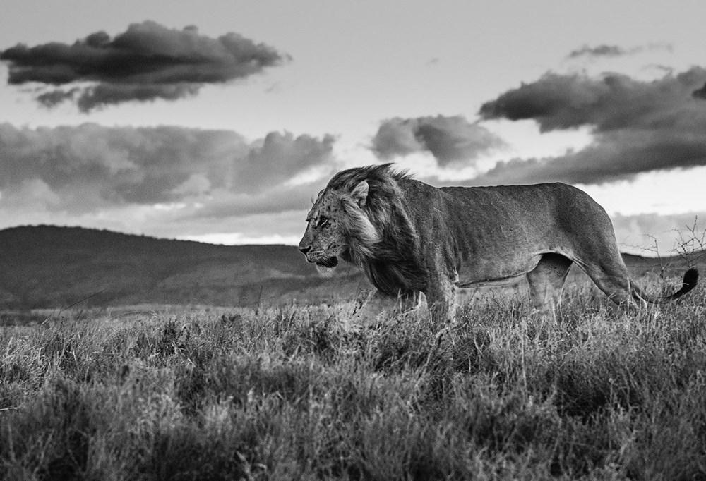 Future Dreams - Lot 24, David Yarrow, The Late Shift; Lewa, Kenya